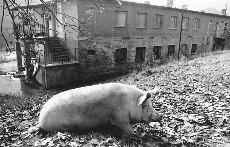 Gelatin silver print of a pig